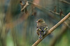 Pinson des arbres (JeanJoachim) Tags: pinsondesarbres fringillacoelebs commonchaffinch passeriformes fringillidae oiseau bird vogel aves uccello fågel fugl pássaro バード lintu птица ptak buchfink pentaxk10d smcpentaxf300mmf45edif