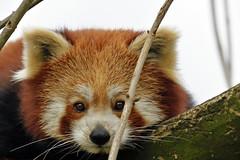 Roter Panda (Michael Döring) Tags: gelsenkirchen bismarck zoomerlebniswelt zoo roterpanda firefox tc20eiii afs600mm40e d850 michaeldöring