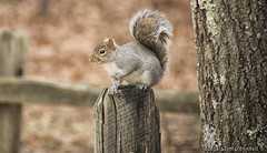 Squirrel (scottnj) Tags: 365the2018edition 3652018 day37365 06feb18 scottnj scottodonnellphotography squirrel fence tree bark rodent fluffy nature graysquirrel greysquirrel post