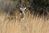 Sandy Hook white-tailed deer (Denise Pelley) Tags: odocoileusvirginianus whitetaileddeer sandyhook newjersey deer wildlife nature cute