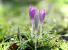 . Triplets . (FotoGraefin Natalie) Tags: springtime droplets bokeh lilac bokehwednesday