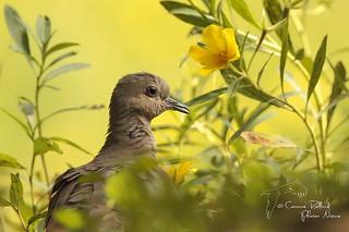 Tourterelle des bois (Streptopelia turtur) - European Turtle Dove #1985
