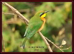 LITTLE BEE-EATERS (Melittophagus pusillus).....NAIROBI.NAT.PARK.....SEPT 2015 (M Z Malik) Tags: nikon d3x 200400mm14afs kenya africa safari wildlife nairobinatpark exoticafricanwildlife exoticafricanbirds ngc npc