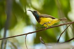 bähh-versuche mich zu fotografieren! (ewiggestrig) Tags: wildlife birds nektarvogel grünrückennecktarvogel thailand kohsamui asia olivebackedsunbird cinnyrisjugularis yellowbelliedsunbird