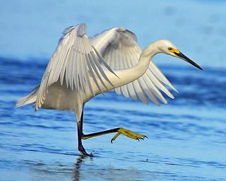 Snowy Egret  (Photo by Paul Allen)