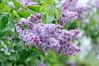 Drip with rain (master Doratan) Tags: flower june lilac summer syringa purple garden