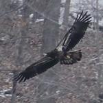Eagle in Croton-on-Hudson, NY. thumbnail