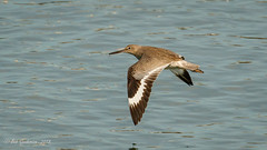 Willet (Bob Gunderson) Tags: birds california heronshead northerncalifornia sanfrancisco sandpipers shorebirds tringasemipalmata willet