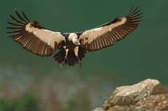 White-backed vulture (Zahoor-Salmi) Tags: zahoorsalmi salmi wildlife pakistan wwf nature natural canon birds watch animals bbc flickr google discovery chanals tv lens camera 7d mark 2 beutty photo macro action walpapers bhalwal punjab