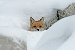 Endless Winter (marylee.agnew) Tags: red fox vulpes snow deep winter dream endless cold canine nature wildlife outdoor