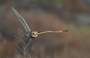 Another Short eared Owl