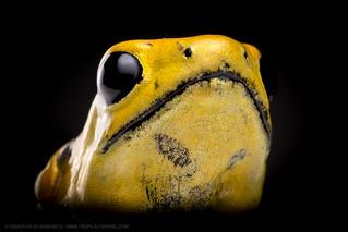 The Golden Poison Dart Frog (Phyllobates terribilis)
