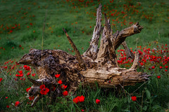 stump (quietusleo) Tags: israel negev desert flower flowers anemone red green nature landscape flora still life