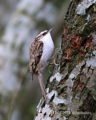 Tree Creeper from the main hide