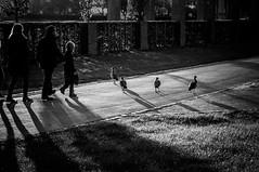 Two kinds of family (AlphaAndi) Tags: monochrome mono menschen menschenbilder leute people personen portrait portraits urban park palacegarten palastgarten trier tiefenschärfe tiere tauben pigeons wow sony streetshots streets schwarzweis streetshooting streetportrait street sw streetphotographie strase strasenleben streetlife streetszene dof deepoffield fullframe vollformat city blackwhite blackandwhite bw bokeh bokehlicious