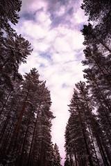 Keskellä tietä / In the middle of the road (Olli Tasso) Tags: trees forest puu taivas sky clouds pilvet pink pinkki vaaleanpunainen auringonlasku sunset bluehour sininentunti maisema landscape scenery finland urjala suomi outdoors nature luonto metsä metsikkö metsämaisema