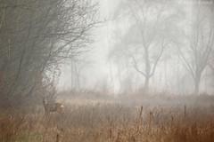Capreolus capreolus (Michele Remonti) Tags: capreolus misty morning winter lombardy lombardia nebbia mattino