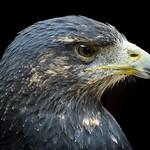 Azura the Black-chested Buzzard-eagle (Geranoaetus melanoleucus) thumbnail
