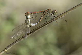 Mating of Sympetrum sinaiticum