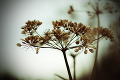 Variation (GillK2012) Tags: nature wildflower umbellifer cowparsley antriscussylvestris seedheads backlit dof canon eos 550d efs55250mmf456is