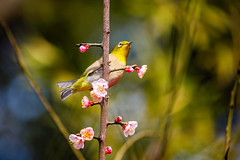 Messenger of Spring (moaan) Tags: kobe hyogo japan jp bird japanesewhiteeye mejiro ume umeblossom tree perch apricottree blossom blossoming inblossom dof bokeh bokehphotography canoneos5dsr ef70200mmf28lisiiusm