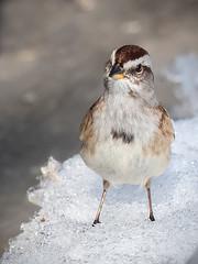 Second Thoughts... (Knarr Gallery) Tags: americantreesparrow nikon birding birdphotography knarrgallery knarrphotography darylknarr snow winter feathers tamronsp150600mmf563divcusd