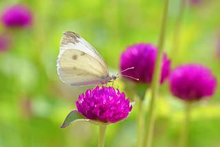 kupusni bijelac (Pieris brassicae / Large White /Große Kohlweißling ) & gomfrena (Gomphrena globosa / globe amaranth / Echter Kugelamarant)