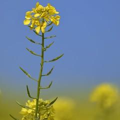 Miracle Yellow (St./L) Tags: nikon nature flower closeup yellow blue sky plant green dof imaginative creative art artistic harmony