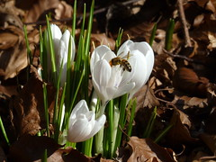 Crocuses (eric robb niven) Tags: ericrobbniven scotland dundee crocuses wildlife nature botanical gardens