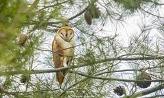 Sleepy head (Photosuze) Tags: owls barnowls sleeping perched trees animals nature birds predators wildlife avians aves