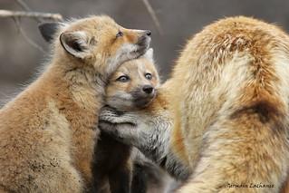 Renard roux (Rex fox)