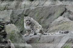A Flash of Pink (ficktionphotography) Tags: snowleopard bigcats feline bronxzoo