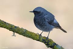 _SEN7321-E (Sento74) Tags: colirrojotizón phoenicurusochruros aves birds fauna tamron150600g2 nikond500 ngc
