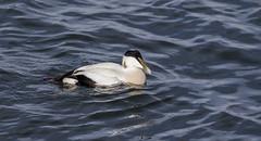Eider Duck (m) (Paul..A) Tags: eiderduck eider duck divingduck marineduck commoneider somateriamollissima scotland