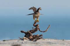 Merlins of the Jersey Shore | 2018 - Part I [EXPLORED] (RGL_Photography) Tags: birding birds birdsofprey birdwatching falcocolumbarius falcon gardenstate jerseyshore merlin newjersey nikonafs600mmf4gedvr nikond500 oceancounty ornithology pigeonhawk raptors us unitedstates wildlife wildlifephotography