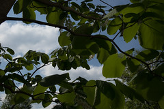 jdy117XX20170427a9233Bias-0.7 stops.jpg (rachelgreenbelt) Tags: ghigreenbelthomesinc usa styraxobassia greenbelt northamerica midatlanticregion ouryard eudicots orderericales styrax familystyracaceae maryland americas asteridsclade magnoliophyta styracaceae styracaceaefamily asterids benzoin ericales ericalesorder floweringplants fromjapan snowbell spermatophytes storax