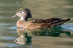 Elegant Wood Duck (MelRoseJ) Tags: elkgrove california unitedstates us birds nature northerncalifornia a77ii alpha autofocus sonyilca77m2 sonyalpha sony sal70200g woodduck