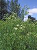 Hemlock - dense growth (Philip_Goddard) Tags: nature naturalhistory plants floweringplants angiosperms wildflowers umbelliferae apiaceae conium europe unitedkingdom britain british britishisles greatbritain uk england southwestengland devon exeter riversidevalleypark