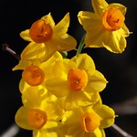 Narcisos thumbnail