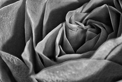 Roses are Red!🌷😁🌷 (LeanneHall3 :-)) Tags: blackandwhite rose rosepetal petals flower flowerflowerflower closeup closeupphotography macroextensiontubes macrophotography macro canon 1300d