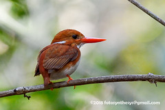 Madagascar Pygmy Kingfisher (Corythornis madagascariensis), adult DSC_6733 (fotosynthesys) Tags: madagascarpygmykingfisher corythornismadagascariensis riverkingfisher kingfisher alcedinidae bird madagascar