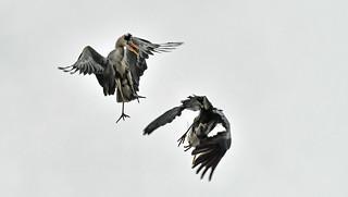 kämpfende Graureiher   -    fighting great blue herons