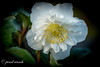 New White Hellebores (pearl.winch) Tags: 26thjanuary2018 anemone gardenmacro helleborus 7364 hellebores white new ourgarden coth coth5