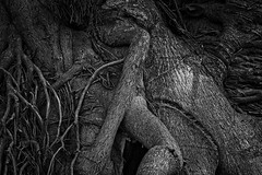Battle of the banyan clones (FotoFloridian) Tags: nature root tree backgrounds blackandwhite closeup plant old abstract pattern outdoors forest textured sony alpha a6000 banyon florida monochrome