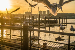 Friendly or Hitchcockian Seagulls? (hilarybachelder) Tags: birds hitchcockian hitchcock sunset sun goldenhour flock 79thstreetboatbasin hudsongreenway riversidepark boats seagulls ny nj newyork newjersey hudsonriver nyc manhattan sunlight golden water river flying light a7rii winter above cold cityscape eerie fullframe february lines leadinglines edge edges frame landscape mirrorless nycparks pattern repetition sony sonya7rii sky seagull gull upperwestside uws up urban vantagepoint viewpoint view pov pointofview yellow zoom nikon nikkor 3580 mm nikonnikkor35mm metabones adapted motion blur
