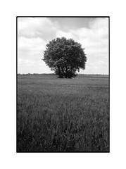 analog - Minox 35 GT - Kodak BW400 (expired) (tom-schulz) Tags: minox35gt kodakbw400cn film expiredfilm analog 35mm monochrom bw sw frame rahmen scan v330 stralsund thomasschulz feld baum kornfeld