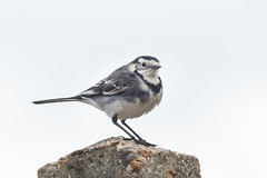 Garden Pied Wagtail