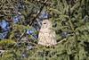Barred Owl ~ checking out the yard (karma (Karen)) Tags: baltimore maryland home backyard birds barredowl trees spruce dof bokeh cmwd