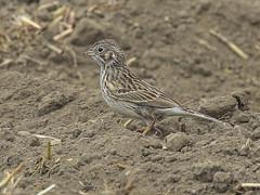 Vesper Sparrow, Pooecetes gramineus (bruce_aird) Tags: