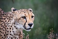 Namibia Naankuse Wildlife Sanctuary (Sas & Rikske) Tags: canon eos1d x canoneos1dx canon100400 eric bruyninckx riksketervuren namibië namibia namib animal animals safari africa afrika landscape green blauwevogelreizen 2017 thena'ankusêfoundation na'an ku sê foundation angelina jolie angelinajolie joliepittfoundation joliepitt brad pitt bradpitt naankusefoundation naankuse na'ankusê cheeta bigcat cat pussy cheetahs